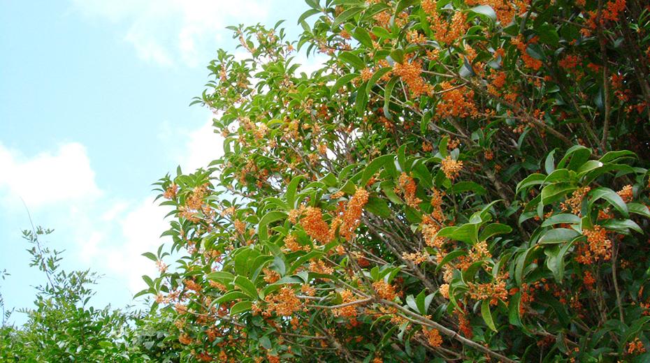 金木犀 毎年10月上旬には甘い香りが辺りを漂います♪