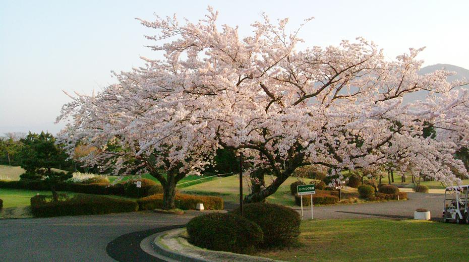 春:桜が満開になるととても綺麗です。